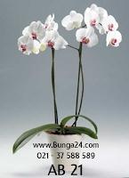 Phalaenopsis Anggrek